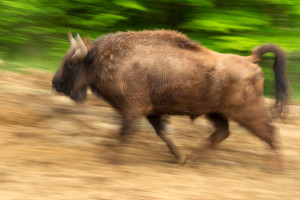 The LIFE Bison project includes annual bison releases in the Romanian Tarçu and the Poiana Ruscă Mountains.