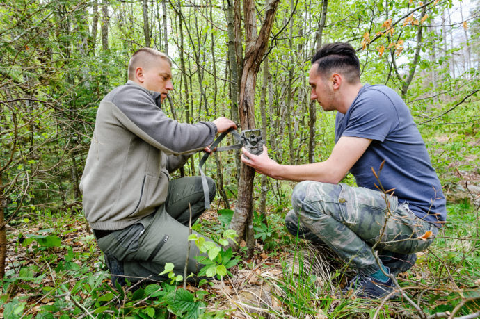 Bison rangers at work in the Southern Carpathians, mounting camera traps as part of the wildlife monitoring programme