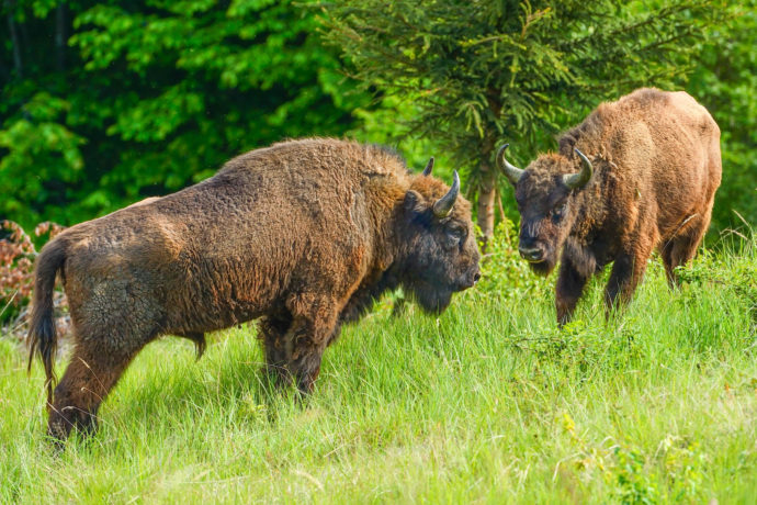 European bison in the Tarcu mountains nature reserve
