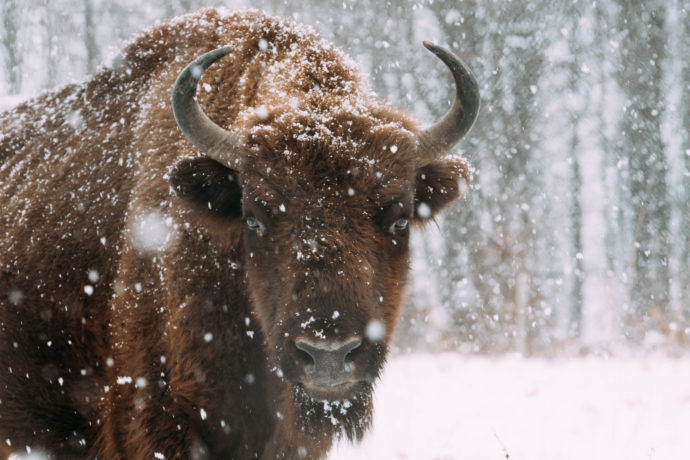 Bison in the winter © Daniel Mîrlea