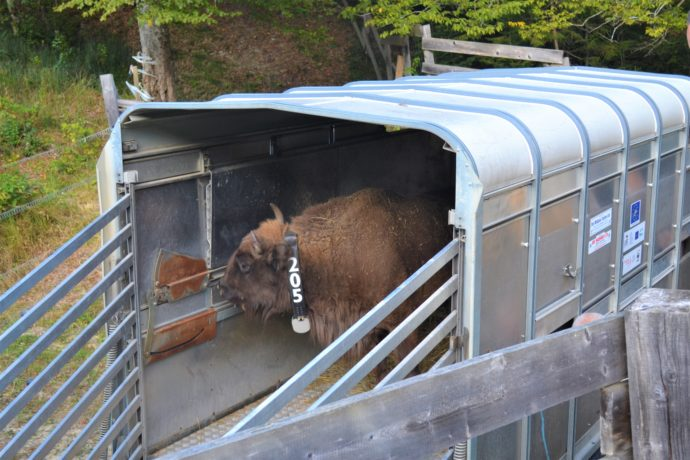 BIson transport 2019 / WWF-Romania
