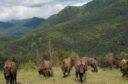 Bison in the Tarcu Moutains / WWF Romania