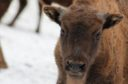 Bison calve / Bianca Stefanut