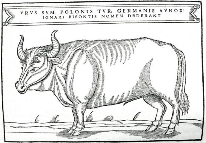 Bour în ilustrație din 1556