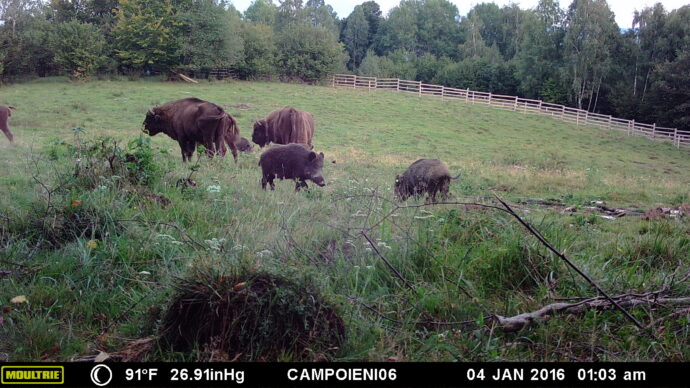 Camera trap showing bison eating alongside wild boar
