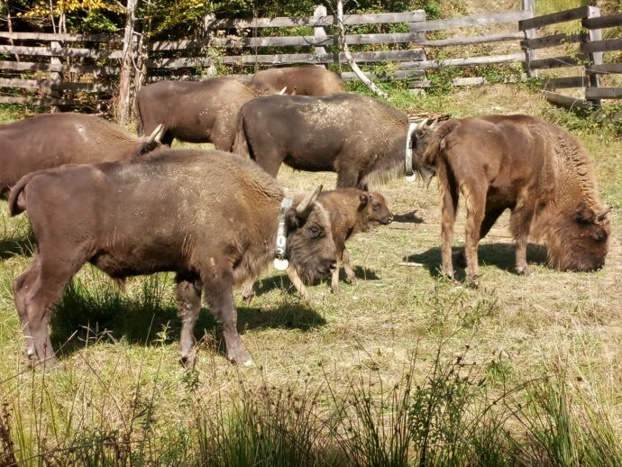 Bison in acclimatization enclosure