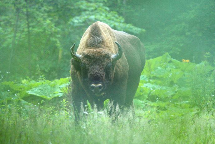 Bison male_Daniel Mîrlea_Bison Hillock