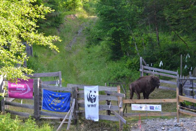 Bison transport June 2021 WWF Romania